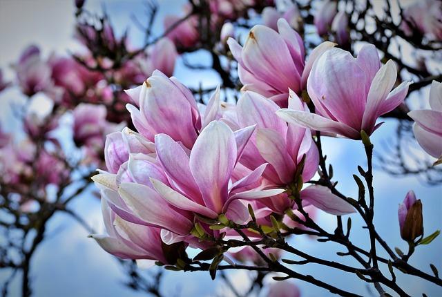 kvety magnólie.jpg