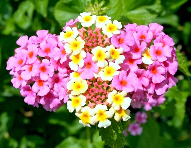 květy lantana.jpg